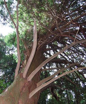大ヒノキの枝ぶり