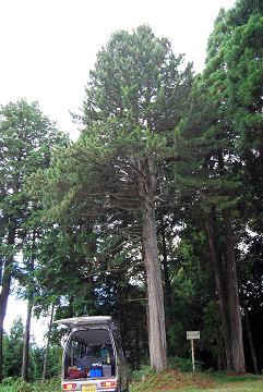 白鳥神社コウヤマキ自生地