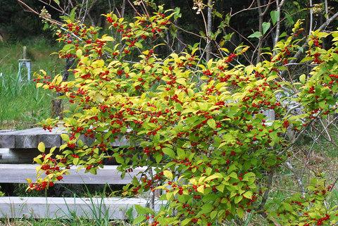 ウメモドキの赤い実