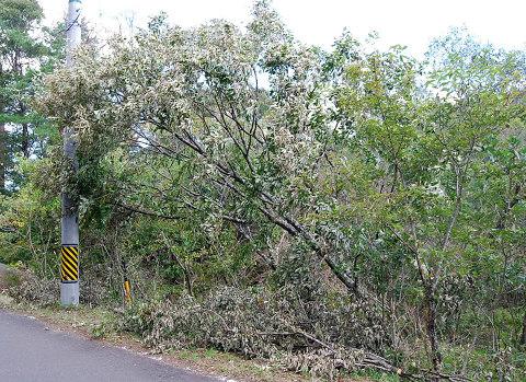 コナラの倒木を伐る2