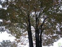 学校の木 落ち葉がきれいだ。