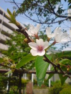 20080429●名残の桜_0941~01.jpg