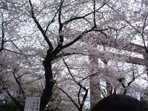 僕が恋した女性の中で桜という名前がダントツで多いですw(脳内妄想)