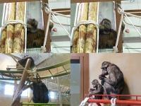 オラウータンとチンパンジー