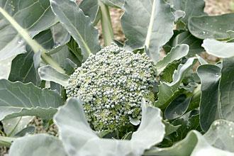 broccol.jpg