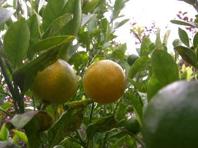 バレンシアリトルレモン
