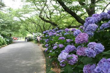 はままつフラワーパーク 紫陽花並木