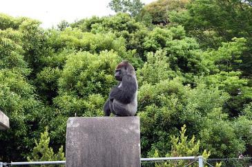 浜松市動物園 姿勢の良いゴリラ