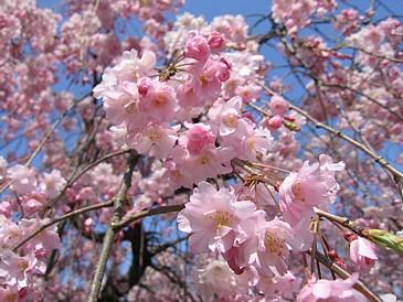 平和公園 枝垂桜S