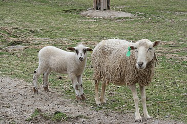 ふれあい牧場 羊親子S