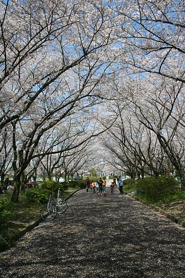 平和公園桜並木S