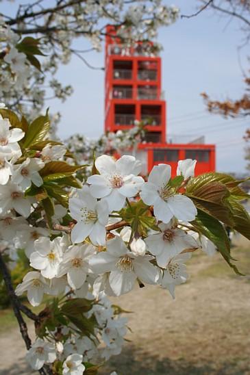 落合公園 桜と塔S
