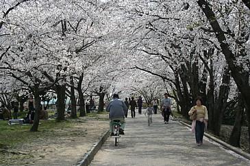 落合公園 桜並木S