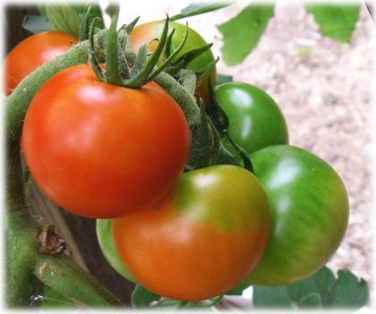 トマト1.jpg