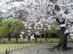 桜の向うに東の稲荷宮