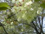 こんな桜です