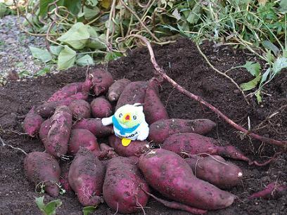サツマイモがたくさんとれたよ!