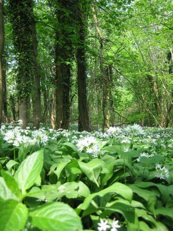 満開の白い花