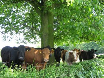 日陰の牛達