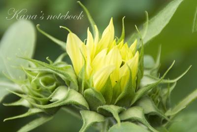 sunflower02_20080619011202.jpg