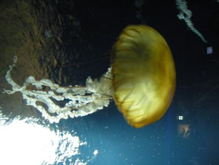 黄色いクラゲ