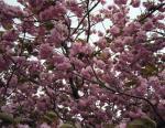 八重桜の木