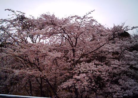 IMG_0045-sakura.jpg