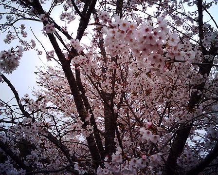 IMG_0046sakura-2.jpg