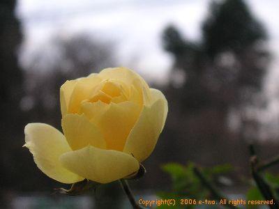 冬バラ1218