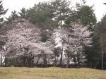 なら公園の桜