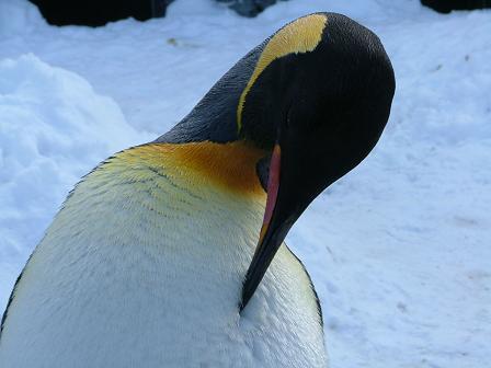 キングペンギンアップ1