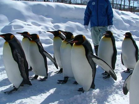 ペンギンの散歩3