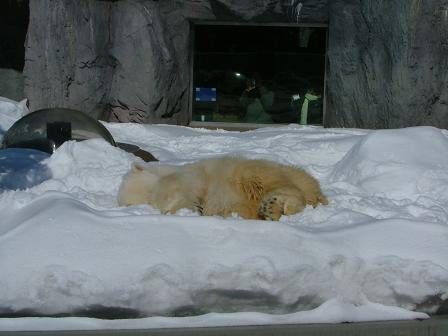 寝るホッキョクグマ1
