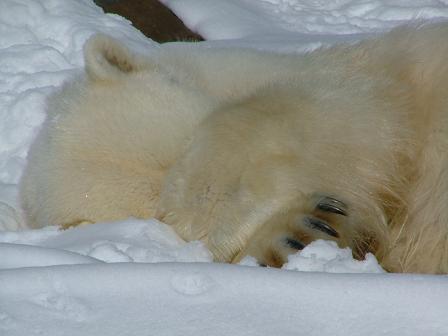 寝るホッキョクグマ2