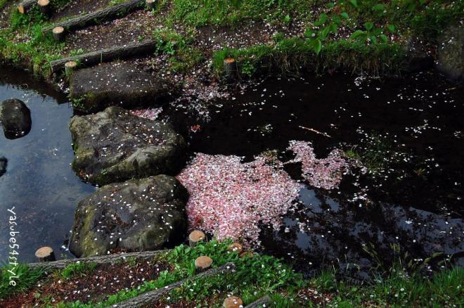 桜花散る2