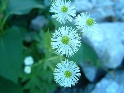 高山植物2