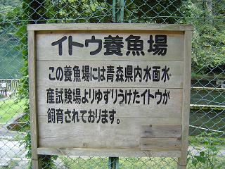 イトウ養殖