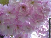 津梅川の桜