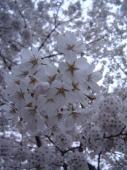 裏の公園の桜