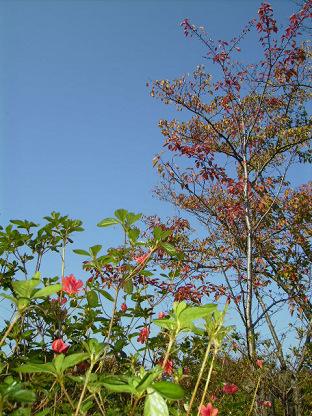 秋の青空とツツジ