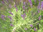 lavender0706-3.jpg