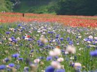 IMG_青い花トポピー