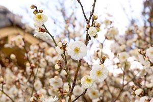 梅の花 元