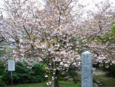 kusimazakura1.jpg