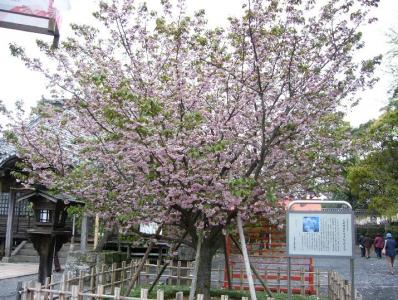 oomurazakura1.jpg
