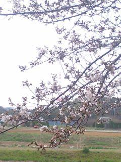 sakura_320.jpg