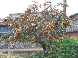 森山の柿の木