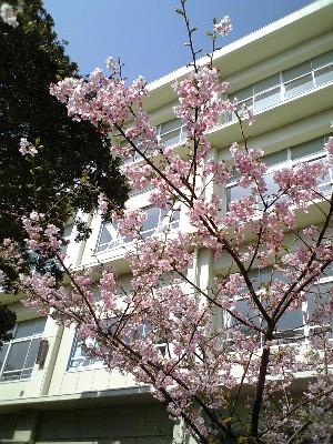 三浦早咲き桜