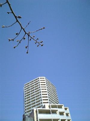 06桜開花前