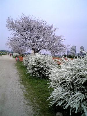 06多摩川桜と